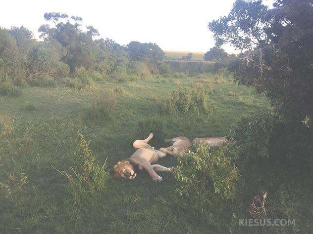 lions-sleeping-kiesuscom