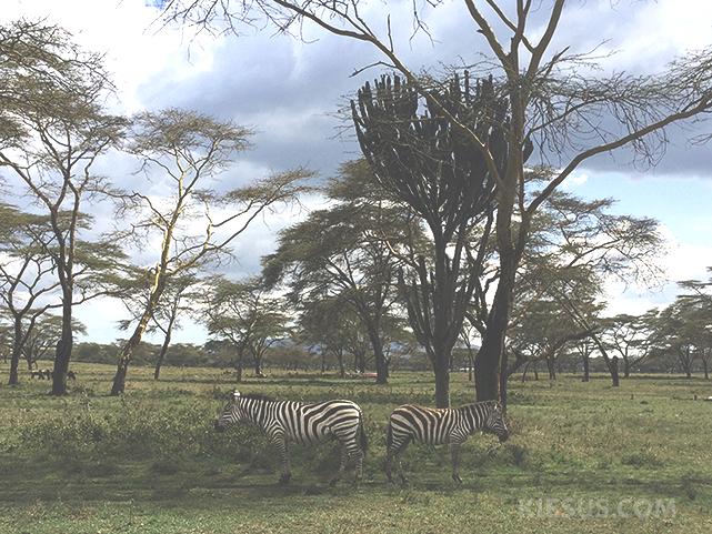 zebras-kiesuscom